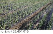 Купить «Spring onions growing in the garden», видеоролик № 33404016, снято 5 февраля 2020 г. (c) Яков Филимонов / Фотобанк Лори