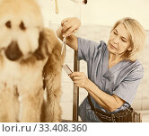 Купить «woman hairdresser cuts Afghan puppy Shepherd in beauty salon for animals», фото № 33408360, снято 17 октября 2017 г. (c) Татьяна Яцевич / Фотобанк Лори