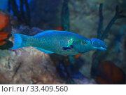 Купить «Лазоревый клюворыл (gomphosus caeruleus). Морская тропическая рыба», фото № 33409560, снято 19 марта 2020 г. (c) Татьяна Белова / Фотобанк Лори