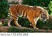 Купить «Great tiger in the nature habitat», фото № 33410264, снято 2 апреля 2020 г. (c) Яков Филимонов / Фотобанк Лори