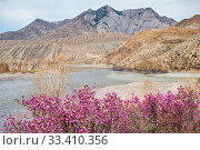 Купить «Rhododendron dauricum bushes with flowers (popular names bagulnik, maralnik) with altai river Katun and Chuya on background.», фото № 33410356, снято 29 апреля 2019 г. (c) Serg Zastavkin / Фотобанк Лори