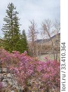 Купить «Rhododendron dauricum bushes with flowers (popular names bagulnik, maralnik) with altai river Katun and mountains on background.», фото № 33410364, снято 29 апреля 2019 г. (c) Serg Zastavkin / Фотобанк Лори