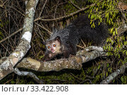 Купить «Aye-aye (Daubentonia madagascariensis) adult active and foraging in forest canopy at night. Deciduous forests, Daraina, northern Madagascar. Endangered.», фото № 33422908, снято 30 мая 2020 г. (c) Nature Picture Library / Фотобанк Лори