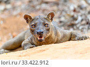 Fosa / Fossa (Cryptoprocta ferox) male resting in dry decidous forest... Стоковое фото, фотограф Nick Garbutt / Nature Picture Library / Фотобанк Лори