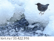 Купить «American dipper (Cinclus mexicanus) foraging on the edge of the frozen Upper Yellowstone River. Yellowstone National Park, Wyoming, USA. January.», фото № 33422916, снято 30 мая 2020 г. (c) Nature Picture Library / Фотобанк Лори