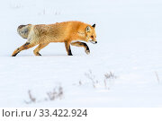 Купить «Red fox (Vulpes vulpes) walking through deep winter snow. Hayden Valley, Yellowstone, USA. January», фото № 33422924, снято 30 мая 2020 г. (c) Nature Picture Library / Фотобанк Лори
