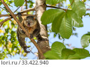 Купить «Sulawesi bear cuscus / phalanger (Ailurops ursinus) in forest canopy. Tangkoko National Park, Sulawesi, Indonesia.», фото № 33422940, снято 30 мая 2020 г. (c) Nature Picture Library / Фотобанк Лори