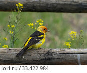 Western tanager (Piranga ludoviciana) male perched on a fence, Gardiner, Montana, USA, June. Стоковое фото, фотограф Mike Read / Nature Picture Library / Фотобанк Лори