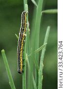Apopestes spectrum is a moth native to Mediterranean Basin. Caterpillar. Стоковое фото, фотограф J M Barres / age Fotostock / Фотобанк Лори