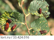 Купить «Elm sack gall produced by aphid Tetraneura ulmi on elm leaves.», фото № 33424016, снято 13 ноября 2019 г. (c) age Fotostock / Фотобанк Лори