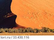 Купить «Trees at base of giant sand dune, Sossusvlei, Namib Naukluft Park, Namib Desert, Namibia», фото № 33430116, снято 28 мая 2020 г. (c) Nature Picture Library / Фотобанк Лори