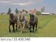 Купить «Amish man mowing hay with three horses. Lancaster County, Pennsylvania, USA. June 2019.», фото № 33430540, снято 30 мая 2020 г. (c) Nature Picture Library / Фотобанк Лори