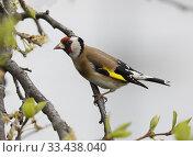 Купить «Goldfinch (Carduelis carduelis). Botkyrka, Stockholm.», фото № 33438040, снято 13 мая 2019 г. (c) age Fotostock / Фотобанк Лори