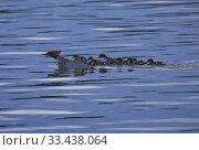 Купить «Goosander (Mergus merganser) with chicks. Malaren, Sodermanland, Sweden.», фото № 33438064, снято 3 июня 2019 г. (c) age Fotostock / Фотобанк Лори