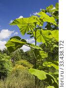Купить «Paulownia tomentosa - Empress tree in backyard garden in summer, Jardin du Grand Portage garden, Saint-Didace, Lanaudiere, Quebec, Canada. This image is...», фото № 33438172, снято 19 августа 2012 г. (c) age Fotostock / Фотобанк Лори