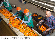 Купить «Cheery male and female workers sorting mandarins», фото № 33438380, снято 15 декабря 2018 г. (c) Яков Филимонов / Фотобанк Лори