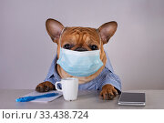 French bulldog in medical mask at workplace during pandemic. Стоковое фото, фотограф Светлана Валуйская / Фотобанк Лори