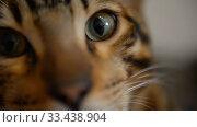 Купить «Bengal kitten calm home at home closeup», видеоролик № 33438904, снято 26 марта 2020 г. (c) Mikhail Erguine / Фотобанк Лори