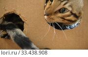 Купить «Bengal kitten calm home at home closeup», видеоролик № 33438908, снято 26 марта 2020 г. (c) Mikhail Erguine / Фотобанк Лори