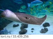 Скат хвостокол леопардовый Himantura leoparda. Морская рыба. Стоковое фото, фотограф Татьяна Белова / Фотобанк Лори