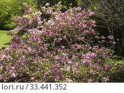 Купить «Pink flowering Magnolia liliiflora 'Nigra' tree in spring, Montreal Botanical Garden, Quebec, Canada.», фото № 33441352, снято 23 мая 2016 г. (c) age Fotostock / Фотобанк Лори