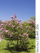 Купить «Syringa x hyacinthiflora 'Maiden's Blush' Lilac shrub in spring, Montreal Botanical Garden, Quebec, Canada.», фото № 33441356, снято 23 мая 2016 г. (c) age Fotostock / Фотобанк Лори