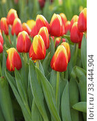 Купить «Tulip Russia, beautiful variety of Tulip with vivid red-yellow petals», фото № 33444904, снято 20 февраля 2020 г. (c) Валерия Попова / Фотобанк Лори