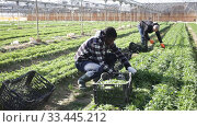 Купить «African american male gardener picking harvest of arugula to crate in hothouse, man on background», видеоролик № 33445212, снято 2 марта 2020 г. (c) Яков Филимонов / Фотобанк Лори