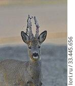 Купить «Roebuck, Sweeps, the horns, Botkyrka, Sodermanland, Sweden.», фото № 33445656, снято 16 апреля 2019 г. (c) age Fotostock / Фотобанк Лори