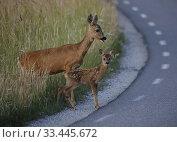 Купить «Roe deer with fawn, Botkyrka, Sodermanland, Sweden.», фото № 33445672, снято 29 июня 2019 г. (c) age Fotostock / Фотобанк Лори