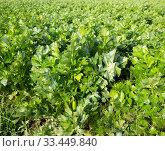 Field planted with celery. Стоковое фото, фотограф Яков Филимонов / Фотобанк Лори