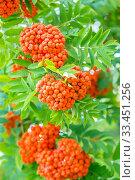 Купить «Red fruits of ripe mountain ash on tree branches on a sunny summer day. Close-up.», фото № 33451256, снято 17 августа 2019 г. (c) Акиньшин Владимир / Фотобанк Лори
