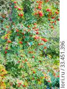 Купить «Red fruits of ripe mountain ash on tree branches on a sunny summer day. Close-up.», фото № 33451396, снято 18 августа 2019 г. (c) Акиньшин Владимир / Фотобанк Лори