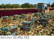 Harvest of fresh lettuce in crates during harvesting. Стоковое фото, фотограф Яков Филимонов / Фотобанк Лори