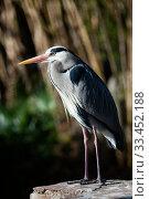 Grey heron posing on a stone. Стоковое фото, фотограф Яков Филимонов / Фотобанк Лори