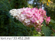 Hydrangea Paniculata Vanille Fraise, pink and white inflorescence. Стоковое фото, фотограф Короленко Елена / Фотобанк Лори