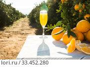 Купить «still life of juicy oranges and juice on table in orange garden», фото № 33452280, снято 14 января 2020 г. (c) Татьяна Яцевич / Фотобанк Лори