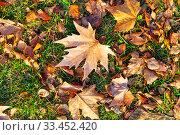Купить «Fallen maple leaves on the grass.», фото № 33452420, снято 19 ноября 2019 г. (c) Елена Блохина / Фотобанк Лори