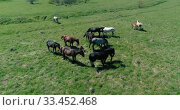 Купить «Flight over wild horses herd on mountain meadow. Summer mountains wild nature. Freedom ecology concept.», видеоролик № 33452468, снято 28 июля 2018 г. (c) Александр Маркин / Фотобанк Лори