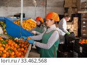 Female employee in colored uniform sorting fresh ripe mandarins on producing grading line. Стоковое фото, фотограф Яков Филимонов / Фотобанк Лори