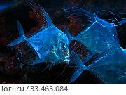Индийский алект или рыба-монетка (Alectis indica) Стоковое фото, фотограф Татьяна Белова / Фотобанк Лори