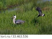 Купить «Grey heron (Ardea cinerea) with Lapwing (Vanellus vanellus) mobbing it, Norfolk, England, UK, May.», фото № 33463536, снято 4 апреля 2020 г. (c) Nature Picture Library / Фотобанк Лори