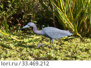 Купить «Little blue heron (Egretta caerulea) North Florida, USA, October.», фото № 33469212, снято 13 июля 2020 г. (c) Nature Picture Library / Фотобанк Лори