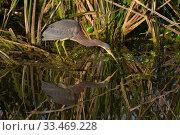 Купить «Tricolored heron (Egretta tricolor) Sweetwater Refuge, Gainesville, Florida, USA, December.», фото № 33469228, снято 5 июня 2020 г. (c) Nature Picture Library / Фотобанк Лори