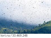 Купить «Amur falcon (Falco amurensis) large flock during migration. Nagaland, India. October.», фото № 33469248, снято 4 апреля 2020 г. (c) Nature Picture Library / Фотобанк Лори