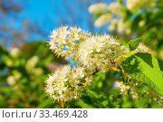 Купить «Черёмуха Маака, белые весенние цветы. Spring flowers background. White flowers of blooming bird cherry tree - in Latin Prunus maackii», фото № 33469428, снято 17 мая 2018 г. (c) Зезелина Марина / Фотобанк Лори