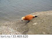 Огарь (красная утка) (Tadorna ferruginea (Pallas) стоит на берегу пруда. Стоковое фото, фотограф Ирина Борсученко / Фотобанк Лори
