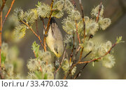 Купить «Lesser whitethroat (Sylvia curruca) covered in yellow pollen, Finland, May.», фото № 33470032, снято 3 апреля 2020 г. (c) Nature Picture Library / Фотобанк Лори