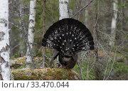 Купить «Western capercaillie (Tetrao urogallus), male displaying at lek, Finland, April.», фото № 33470044, снято 13 июля 2020 г. (c) Nature Picture Library / Фотобанк Лори