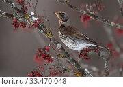 Купить «Fieldfare (Turdus pilaris) feeding on rowan berries in winter, Finland, December.», фото № 33470048, снято 3 апреля 2020 г. (c) Nature Picture Library / Фотобанк Лори